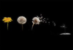dandelion_life_cycle_greeting_card-r917a25e735d04a3d81d6f384a09faea3_xvuak_8byvr_324 - Version 2